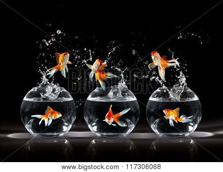 Goldfishs jumps upwards from an aquarium on a dark background