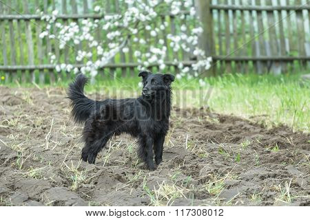 Black mongrel dog standing on freshly tilled soil at flowering fruit tree spring background