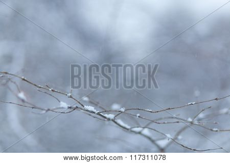 Branch Covered With Snow