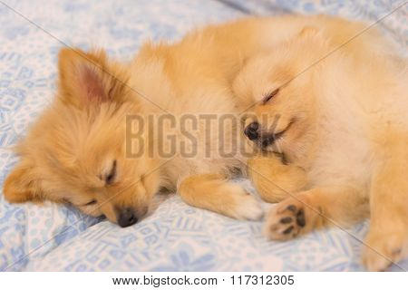 Two Pomeranian Dogs Sleeping Together In Bed, Focus On The Right Dog