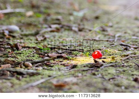 Red Currant on the Ground