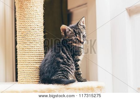 Tiny Little Grey Strip Tabby Kitten