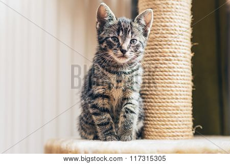 Cute Little Tabby Kitten With A Scratching Post