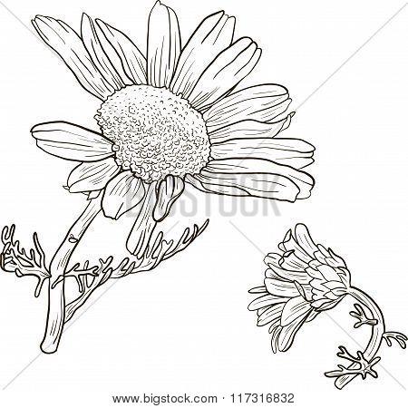 hand drawn chamomile