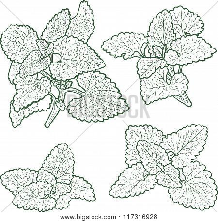 hand drawn mint plants and leaves
