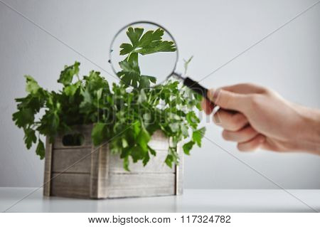 Wooden Box Parsley Cilantro Magnified Leaves