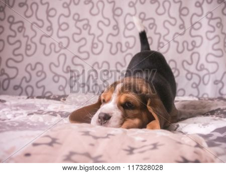Cute beagle tricolour puppy