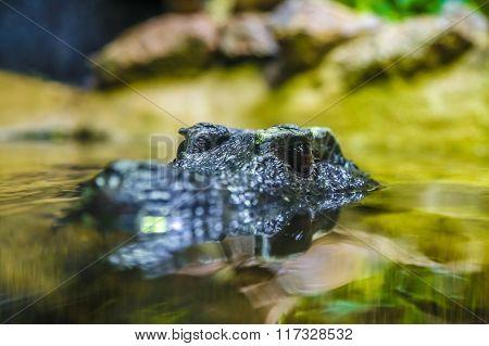 crocodile head in the water