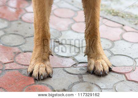 German Shepherd dog paws