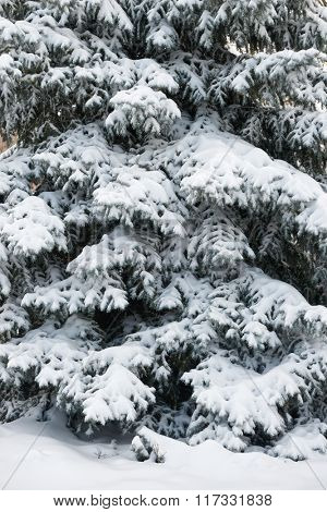 Bright winter landscape. Snowy fir trees in forest.