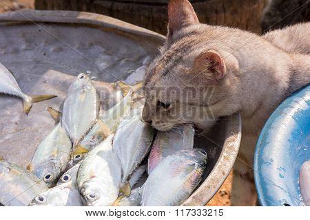 Cat Stealing A Fish