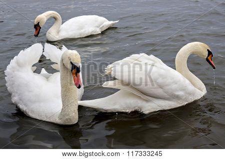 Mute swans, Cygnus olor
