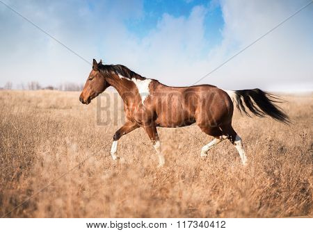Red Piebald Horse Run