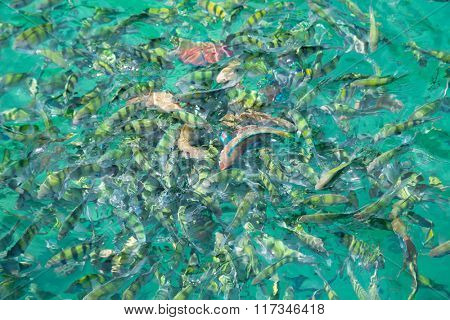 Tropical fish in the Andaman Sea coast of Thailand