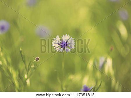 Beautiful cornflower, outdoors