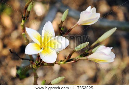 Plumeria flowers are white