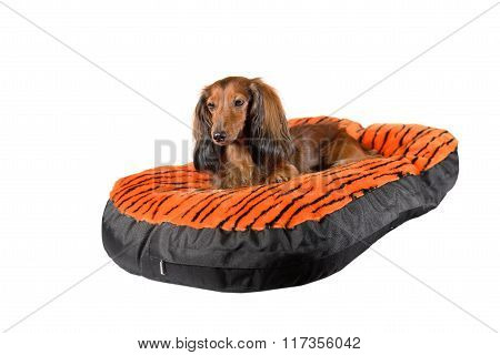 Dog Resting On A Colorful Dog Sofa, Mattress