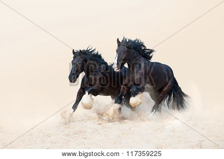 Two beautiful black stallion galloping in the sand on a light neutral background.