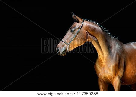 Beautiful young horse on a black background looking to the side. Sports stallion with braided mane
