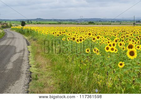 Sunflowers In Languedoc-roussillon (france)