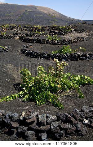 Grapes Wall Crops Viticulture   Lanzarote Spain La Geria Vine Screw    Cultivation