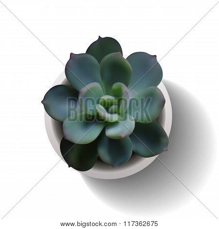 Echeveria Succulent Vector4