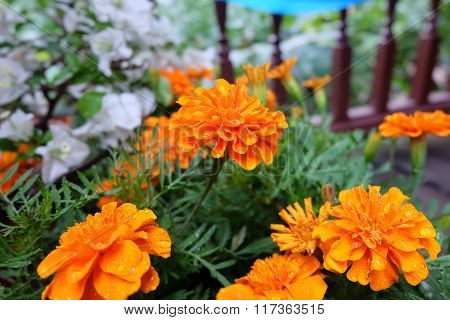 Marigolds are known as the