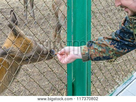 Man Stretched Out His Hand With A Carrot And Feeding Deer In a Zoo