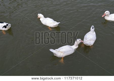 White Mute Swans (lat.: Cygnus Olor) Swimming In Dark Water In A Pond