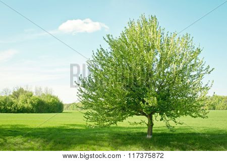 Blooming tree on a green field