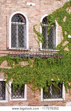 Wooden windows with ivy