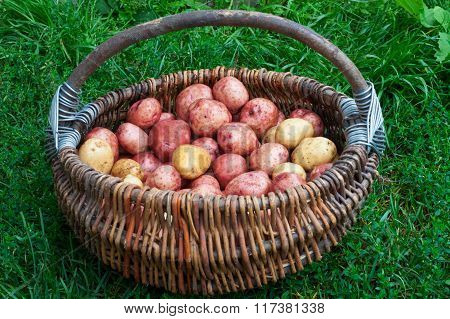 Raw Not Peeled Potatoes In A Basket