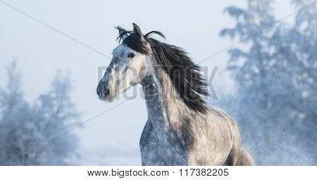 Portrait of grey purebred Spanish horse on winter background