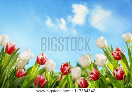Spring tulips in the field,nature background.