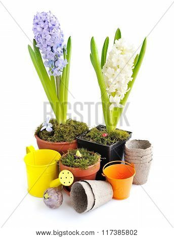 Hyacinths Planted In Pots On A White Background