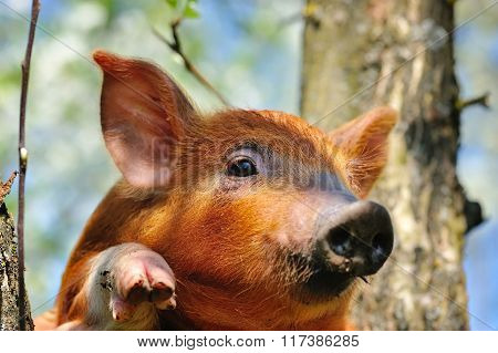 Young Red Pig On Outdoors