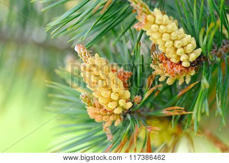 Young Shoots On The Branches Of Pine