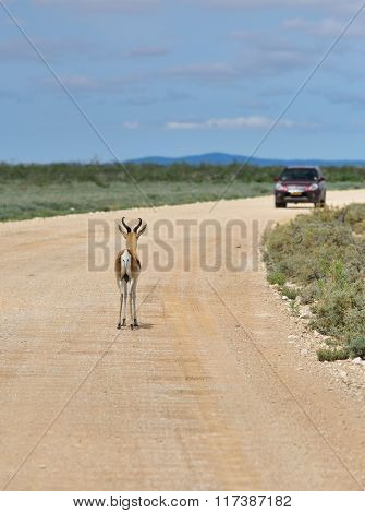 Antelope Springbok, Etosha, Namibia