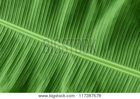 Banana Leaf, Fresh Natural Green Background