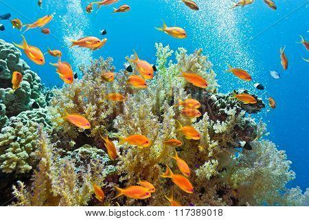 Anthias fish on the reef
