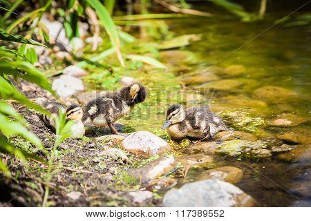 Ducklings Preening Feathers