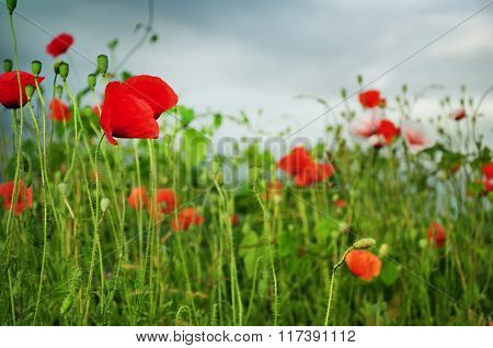 Countryside Full With Poppy Flowers