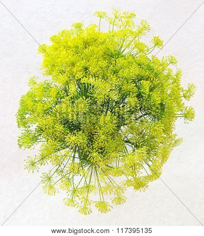 Bouquet Of Fresh Blooming Dill On White Background
