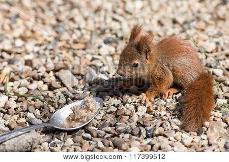 Squirrel and spoon of porridge.