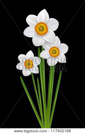 Flowers narcissus bouquet, spring white flower on black, vector illustration.