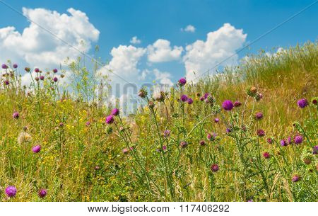 Wild thistles on a hill at summer time
