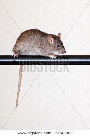 Gray House Rat