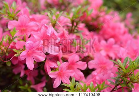 Pink Rhododendron (Azalea) plant blooming in spring