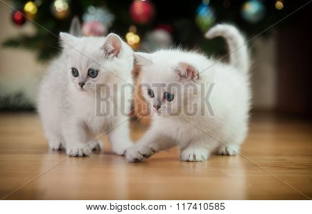 Two Beautiful British Silver  Kittens