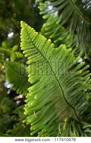Exotic pine tree Araucaria heterophylla green branch